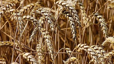 Wheat-3524861_640_thumb_main